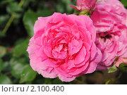 Болгарская роза, фото № 2100400, снято 15 июня 2010 г. (c) Татьяна Юни / Фотобанк Лори