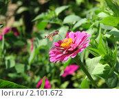 Бражник в полёте собирает нектар. Стоковое фото, фотограф Терещенко Александр / Фотобанк Лори