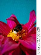 Купить «Шмель на цветке георгина», фото № 2106520, снято 8 августа 2010 г. (c) Алексей Трофимов / Фотобанк Лори