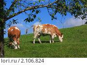 Две коровы пасутся на альпийском лугу. Стоковое фото, фотограф Валерий Степанов / Фотобанк Лори