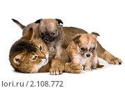 Купить «Кошка и щенки чихуахуа», фото № 2108772, снято 29 октября 2010 г. (c) Vladimir Suponev / Фотобанк Лори