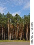 Сосновый лес в Белоруссии. Стоковое фото, фотограф Абушкина Мария / Фотобанк Лори
