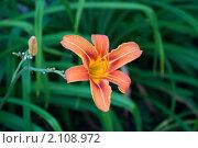 Оранжевая лилия на фоне зеленых листьев. Стоковое фото, фотограф Абушкина Мария / Фотобанк Лори
