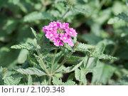 Купить «Вербена. Verbena», эксклюзивное фото № 2109348, снято 17 июля 2010 г. (c) Шичкина Антонина / Фотобанк Лори