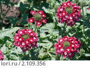 Купить «Вербена. Verbena», эксклюзивное фото № 2109356, снято 24 июля 2010 г. (c) Шичкина Антонина / Фотобанк Лори