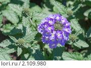 Купить «Вербена. Verbena», эксклюзивное фото № 2109980, снято 24 июля 2010 г. (c) Шичкина Антонина / Фотобанк Лори