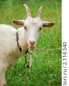 Купить «Коза, анфас, крупный план», фото № 2114540, снято 3 июля 2010 г. (c) Светлана Зарецкая / Фотобанк Лори