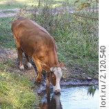 Купить «Корова пьет воду из реки», фото № 2120540, снято 9 октября 2010 г. (c) Минакова Татьяна / Фотобанк Лори