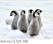 Купить «Императорский пингвин», фото № 2121160, снято 18 октября 2010 г. (c) Vladimir / Фотобанк Лори