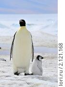 Императорский пингвин. Стоковое фото, фотограф Vladimir / Фотобанк Лори