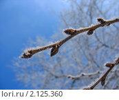 Купить «Веточка с почками, покрытая инеем», фото № 2125360, снято 8 января 2007 г. (c) Светлана Ильева (Иванова) / Фотобанк Лори