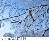 Купить «Ветки березы с сережками, покрытые инеем», фото № 2127184, снято 8 января 2007 г. (c) Светлана Ильева (Иванова) / Фотобанк Лори