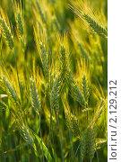 Купить «Колосья пшеницы в поле», фото № 2129212, снято 16 сентября 2007 г. (c) Алексей Ухов / Фотобанк Лори