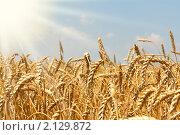 Купить «Пшеничное поле», фото № 2129872, снято 16 июля 2010 г. (c) Сергей Колесников / Фотобанк Лори