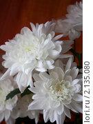 Белые хризантемы. Стоковое фото, фотограф Александр Чугунов / Фотобанк Лори