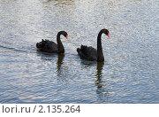 Купить «Пара черных лебедей», фото № 2135264, снято 24 сентября 2010 г. (c) Наталья Волкова / Фотобанк Лори