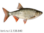 Купить «Рыба на белом фоне», фото № 2138840, снято 13 ноября 2010 г. (c) Goruppa / Фотобанк Лори