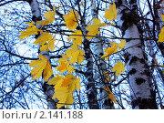 Яркие желтые кленовые листья на фоне серого осеннего неба. Стоковое фото, фотограф Тамара Магомедова / Фотобанк Лори