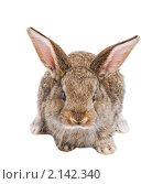 Купить «Молодой коричневый кролик», фото № 2142340, снято 9 ноября 2010 г. (c) Дмитрий Калиновский / Фотобанк Лори