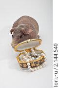 Морская свинка спряталась за коробочку с бусами. Стоковое фото, фотограф Виктор Березин / Фотобанк Лори