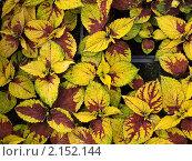 Осенние листья. Стоковое фото, фотограф Андрей Павлов / Фотобанк Лори