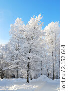 Купить «Белые березы, покрытые изморозью, в заснеженном зимнем лесу», фото № 2152644, снято 24 января 2010 г. (c) Татьяна Савватеева / Фотобанк Лори