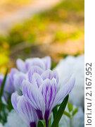 Купить «Крокусы», фото № 2167952, снято 26 апреля 2009 г. (c) Елена Блохина / Фотобанк Лори