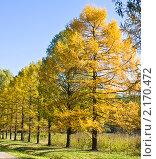 Купить «Золотые лиственницы», фото № 2170472, снято 24 октября 2010 г. (c) ИВА Афонская / Фотобанк Лори