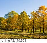 Купить «Золотые лиственницы», фото № 2170508, снято 24 октября 2010 г. (c) ИВА Афонская / Фотобанк Лори