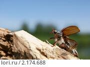 Майский жук. Стоковое фото, фотограф Олеся Малиновская / Фотобанк Лори