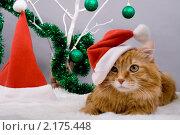 Купить «Курильский бобтейл в Рождество», фото № 2175448, снято 27 ноября 2010 г. (c) Asja Sirova / Фотобанк Лори