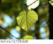 Лист липы. Стоковое фото, фотограф Полухин Сергей / Фотобанк Лори