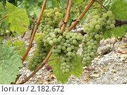 Купить «Виноградная лоза. Швейцария.», эксклюзивное фото № 2182672, снято 28 августа 2010 г. (c) Natalia Nemtseva / Фотобанк Лори