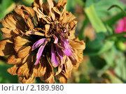 Купить «Сухой цветок Цинния», фото № 2189980, снято 8 августа 2010 г. (c) Алексей Трофимов / Фотобанк Лори