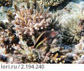 Купить «Тропическая рыбка на коралловом рифе в Красном море, Египет», фото № 2194240, снято 14 января 2010 г. (c) Михаил Марковский / Фотобанк Лори
