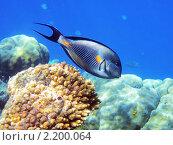 Купить «Тропическая рыбка на коралловом рифе в Красном море, Египет», фото № 2200064, снято 16 января 2010 г. (c) Михаил Марковский / Фотобанк Лори