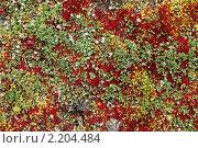 Купить «Земля Франца-Иосифа. флора», фото № 2204484, снято 23 июля 2010 г. (c) Владимир Мельник / Фотобанк Лори