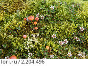 Купить «Земля Франца-Иосифа. флора», фото № 2204496, снято 6 августа 2010 г. (c) Владимир Мельник / Фотобанк Лори
