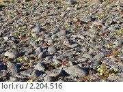 Купить «Земля Франца-Иосифа. флора», фото № 2204516, снято 5 августа 2010 г. (c) Владимир Мельник / Фотобанк Лори