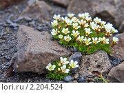 Купить «Земля Франца-Иосифа. флора», фото № 2204524, снято 25 июля 2010 г. (c) Владимир Мельник / Фотобанк Лори