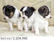 Купить «Три щенка», фото № 2204996, снято 9 декабря 2010 г. (c) Сергей Лаврентьев / Фотобанк Лори