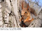 Купить «Рыжая белка на дереве», фото № 2210496, снято 22 апреля 2010 г. (c) Галина  Горбунова / Фотобанк Лори