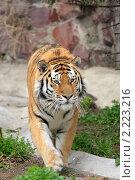 Купить «Тигр в Московском зоопарке», эксклюзивное фото № 2223216, снято 28 апреля 2010 г. (c) Дмитрий Неумоин / Фотобанк Лори