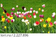 Купить «Разноцветные тюльпаны», фото № 2227896, снято 22 мая 2010 г. (c) Юлия Подгорная / Фотобанк Лори