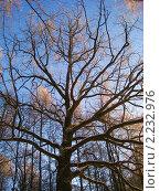 Дуб  зимой. Стоковое фото, фотограф Татьяна Гомонова / Фотобанк Лори