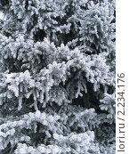 Купить «Иней на ветках голубой ели», фото № 2234176, снято 5 февраля 2010 г. (c) Татьяна Грин / Фотобанк Лори