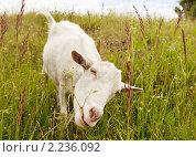 Купить «Коза, щиплющая траву», фото № 2236092, снято 22 августа 2018 г. (c) Погорелов Владимир / Фотобанк Лори