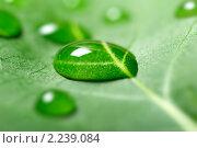 Купить «Капля воды на листе», фото № 2239084, снято 22 июня 2009 г. (c) Сергей Петерман / Фотобанк Лори