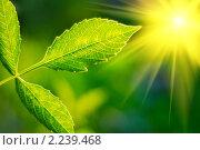 Купить «Свежий лист и солнце», фото № 2239468, снято 31 августа 2008 г. (c) Сергей Петерман / Фотобанк Лори