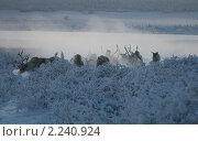 Купить «Оймякон. Тур на оленях», фото № 2240924, снято 7 января 2010 г. (c) Местников Михаил Иванович / Фотобанк Лори